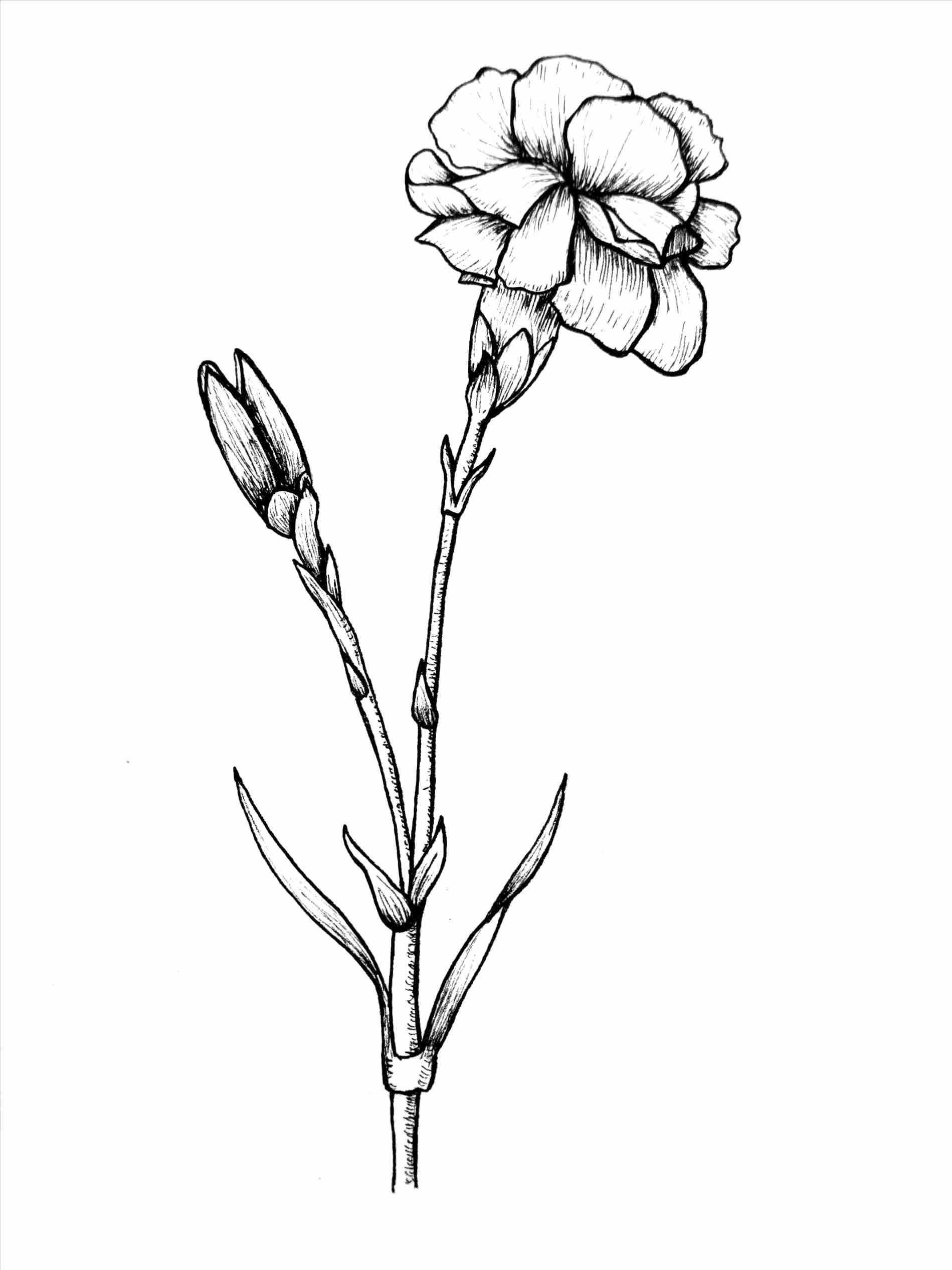 Coloring Flowers Pencils Awesome Carnation Colored Pencil Drawings Flower In 2020 Cute Flower Drawing Flower Art Drawing Flower Drawing