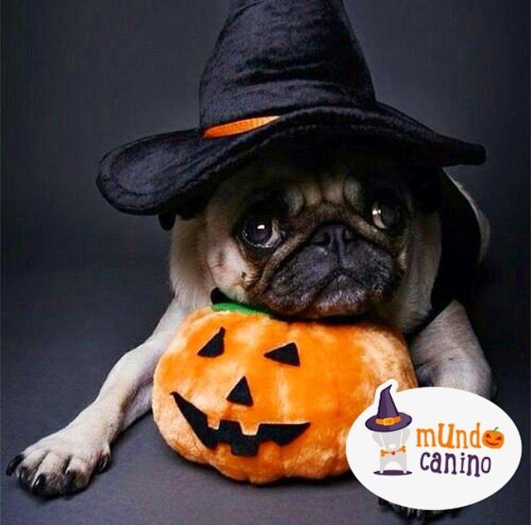 Vive la noche de halloween con la mejor compañía. . #halloween #disfraces #dog #perro #canino #mundocanino #mundocaninooficial #diversión #dulces #nocheDeBrujas #miedo #perroDisfrazado #DisfrazDePerro #Feliz #Ternura #Ipod #scoobydoo #Dali #odontologo #starbucks #BreakingBad #calabaza . @mundocaninoofi la cuenta más canina de pinterest