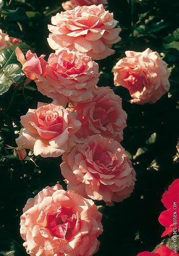 """Résultat de recherche d'images pour """"rose poétique"""""""