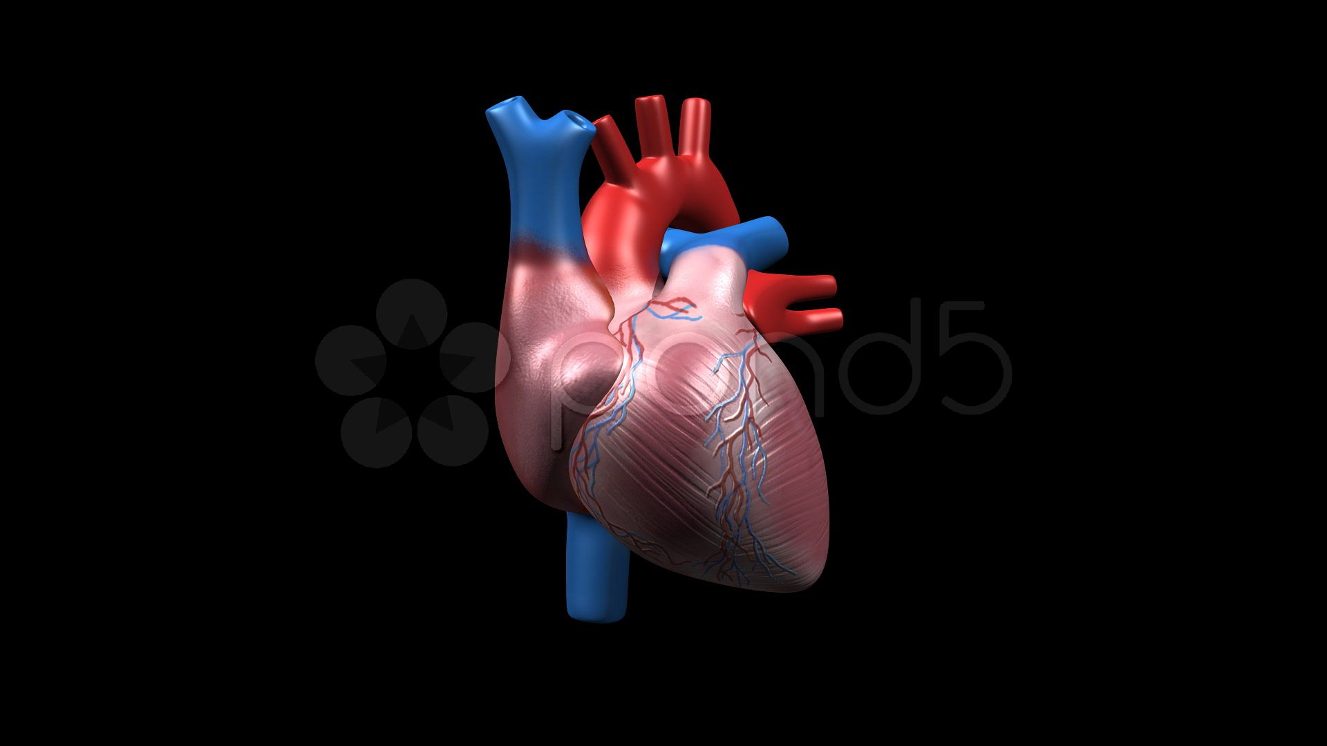 Human Heart CU, 360 Degree Rotation. Corazón humano, con 360 grados ...