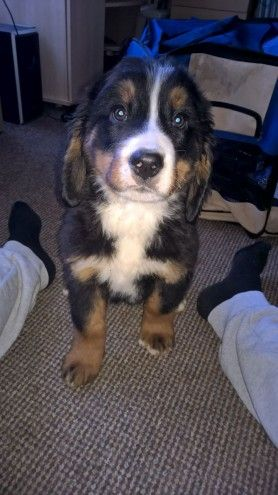 2 Beautiful Bernese Mountain Dog Pups Nottingham