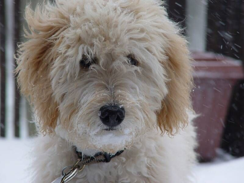 Golden Doodle 3 With Images Goldendoodle Puppy Labradoodle
