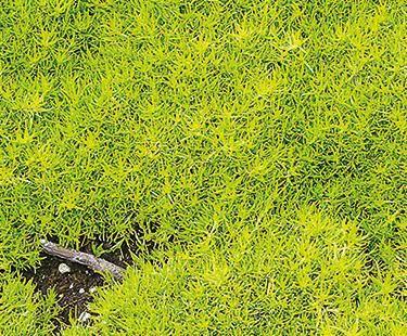 Golden Scotch Moss