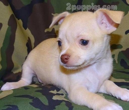 Chihuahua Dogs For Sale In United States California Los Angeles