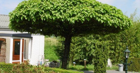 Catalpa bungei x2 catalpa bungei garden landscaping for Arboles para sombra de poca raiz