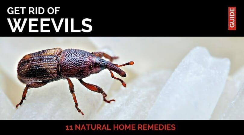 Pantry Weevil