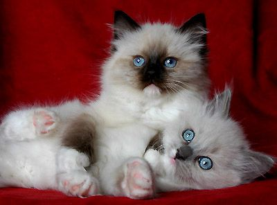 Seal Mitted Babies Ragdoll Cat Cute Cats And Kittens Ragdoll Cat Breeders