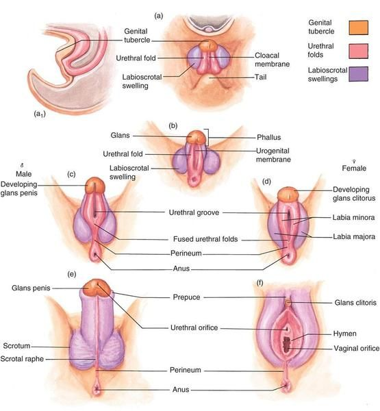 Development of sex organs in fetus