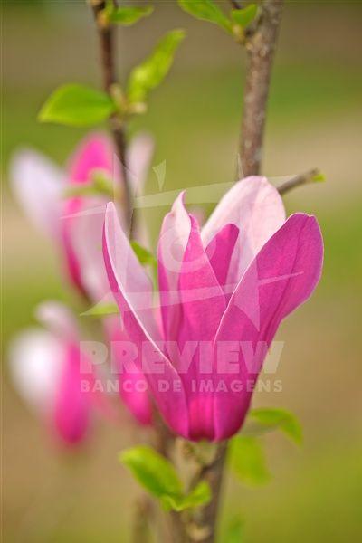 Flores de Magnólias desabrochando no início da primavera. A Magnólia é uma flor proveniente de plantas do gênero Magnolia L., família Magnoliaceae. As magnólias são árvores, arbustos ou arvoretas semi-descíduas ou descíduas, apreciados como ornamentais em jardins, principalmente em locais de clima temperado ou subtropical. Produzem abundantes flores brancas ou rosadas, grandes e perfumadas.