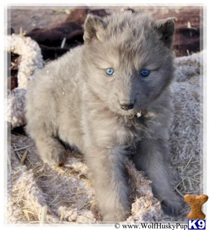 Wolf Dog Puppy For Sale Rare Blue Coat 9 Weeks Old Wolf
