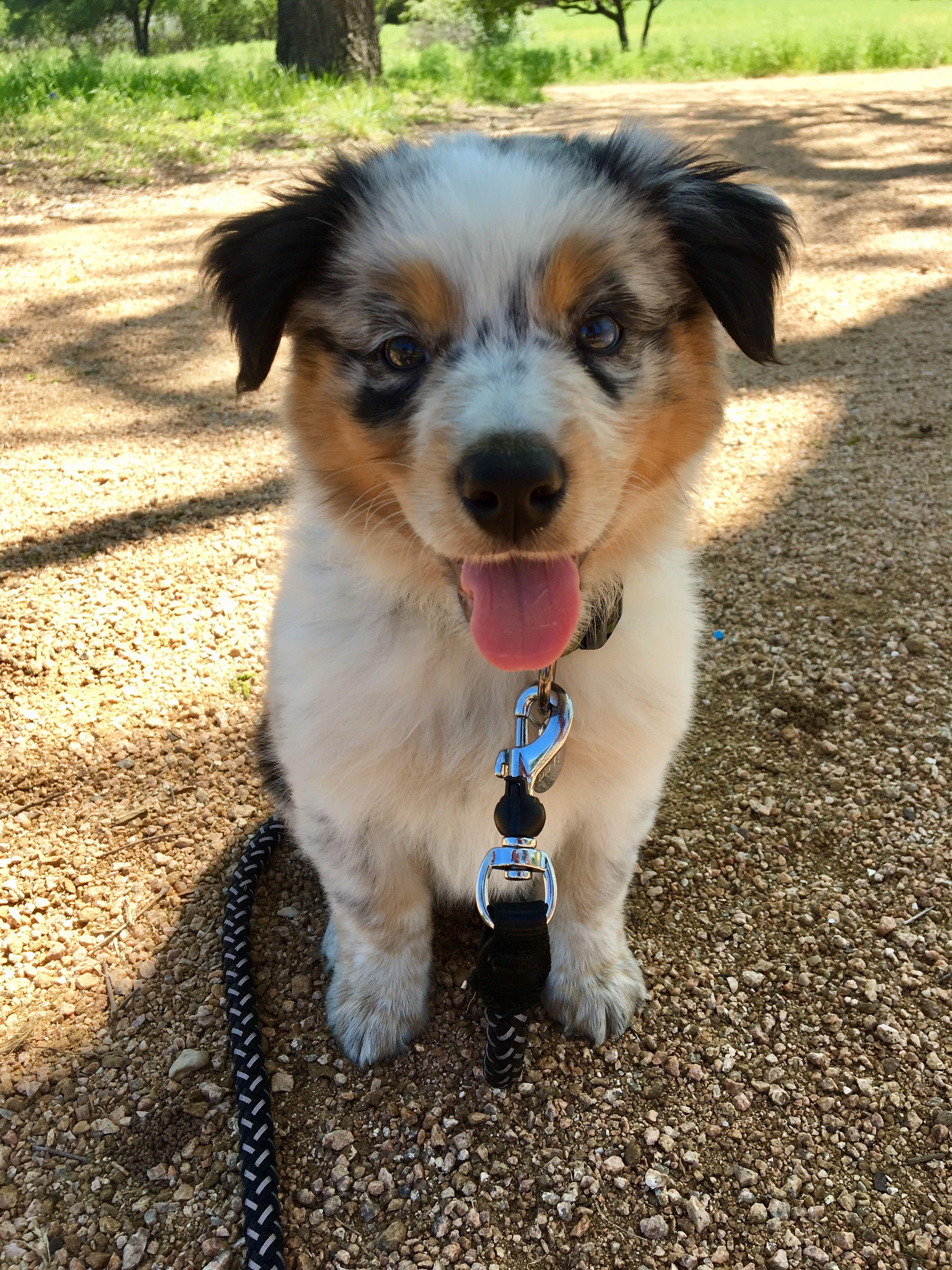 7 Week Old Texas Healer Australian Shepherd Pets Puppies