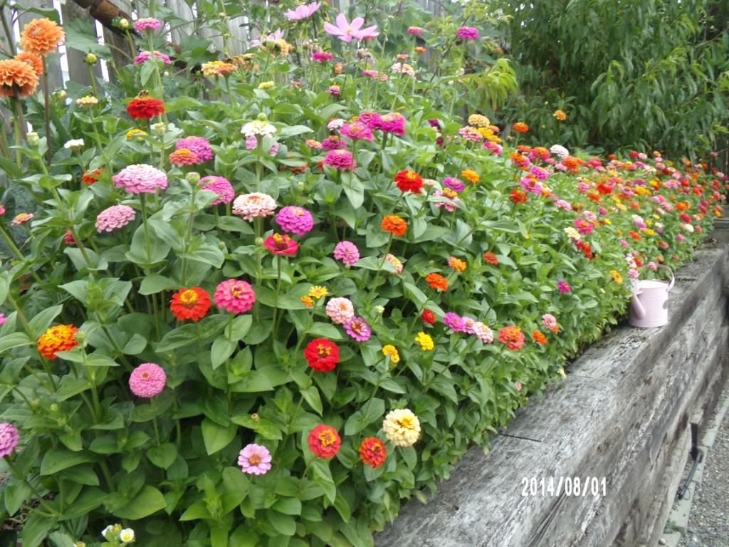 Zinnia Cut And Come Again Google Search
