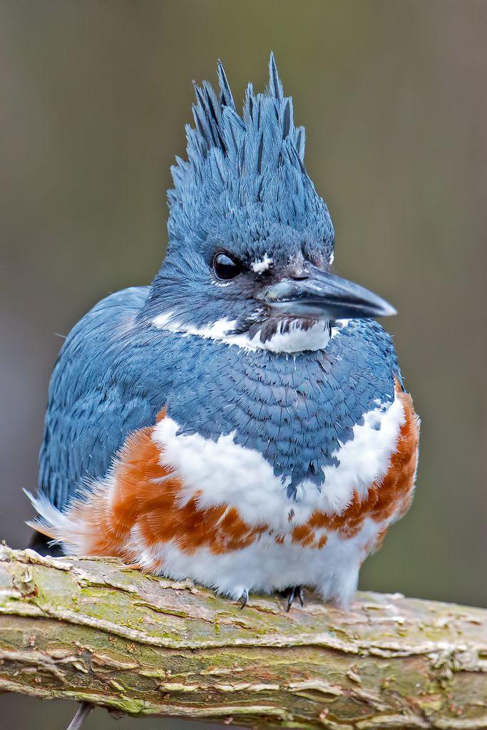 Belted Kingfisher Female Oiseaux Exotiques Beaux Oiseaux Les Oiseaux Du Monde