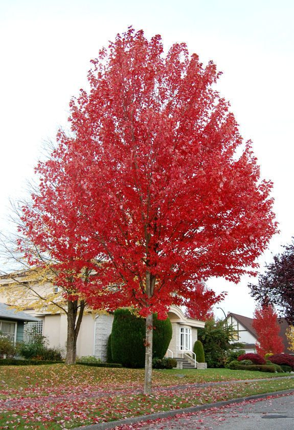 Full Size Picture Of Freeman S Maple Hybrid Red Maple Autumn