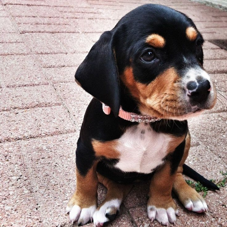Image Result For Beagle Lab Mix Beagle Lab Mixes Lab Mix
