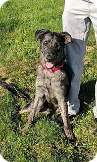 Pictures Of Remus A Catahoula Leopard Dog German Shepherd Dog Mix