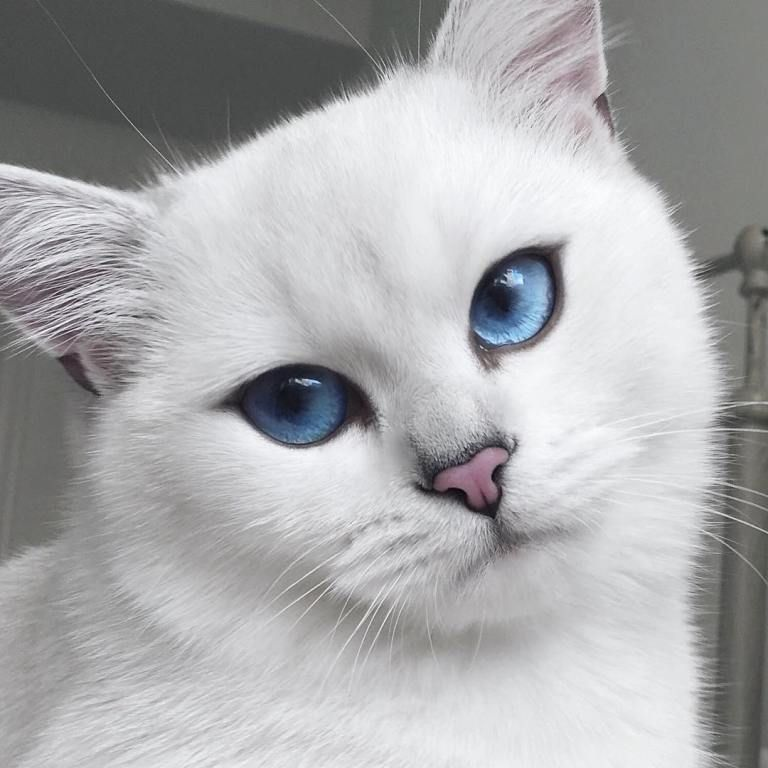 Home Cat With Blue Eyes Cute Animals Pretty Cats