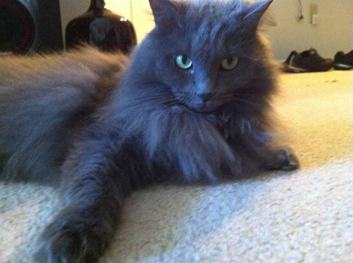 Pictures Of Nebelung Cat Breed Cat Breeds Russian Blue Cat Nebelung Cat