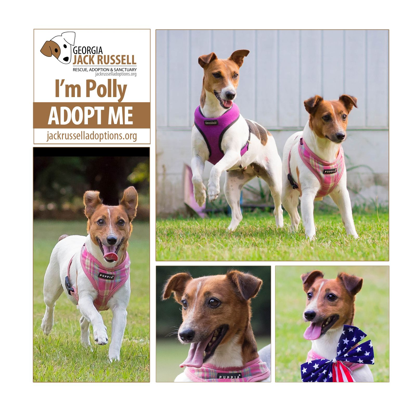 Polly Wolly Doodle All The Day Yes She Do Adoptterrier Jackrussell Cute Dog Pictures Jack Russell Jack Russell Terrier