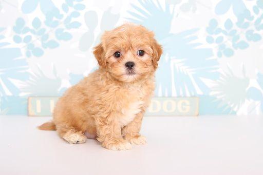 Shihpoo Mix Puppy For Sale In Naples Fl Adn 63165 On Puppyfinder