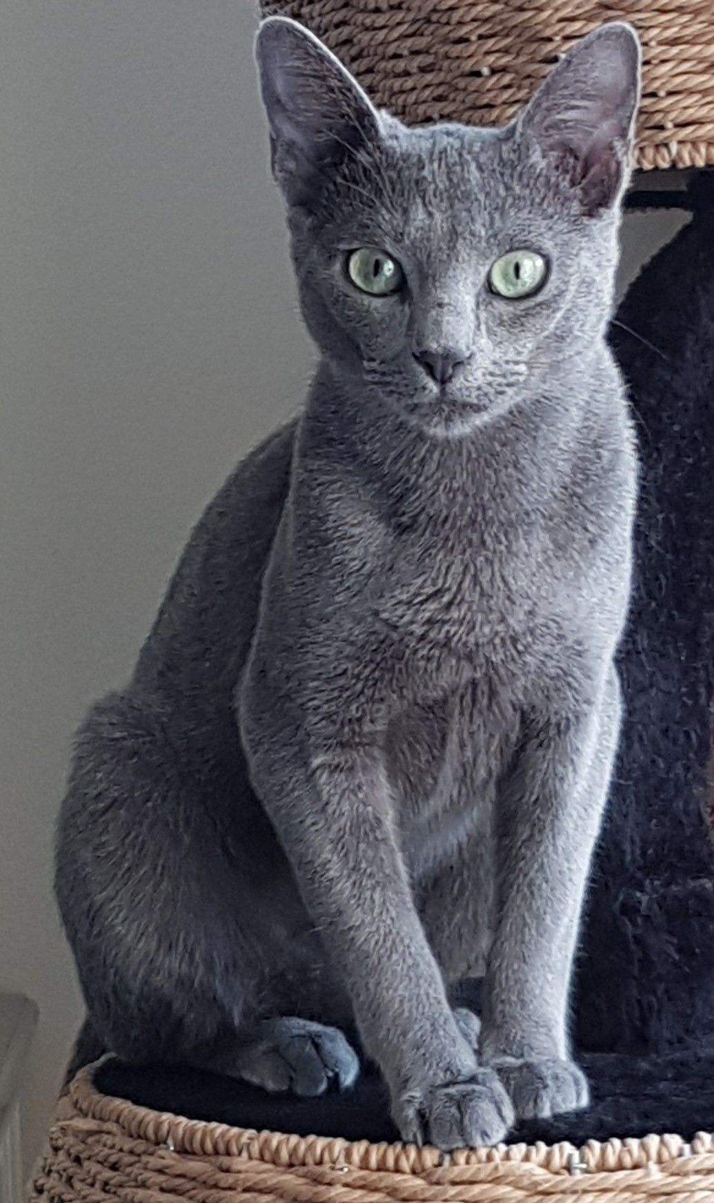 Pin By Hisayo Hatakeyama On Cat Beautiful Cats Russian Blue Russian Blue Cat