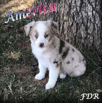 Miniature Australian Shepherd Puppy For Sale In Forestburg Tx