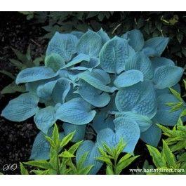 Hosta Fragrant Blue Blue Hostas Blue Hosta Hosta Plants