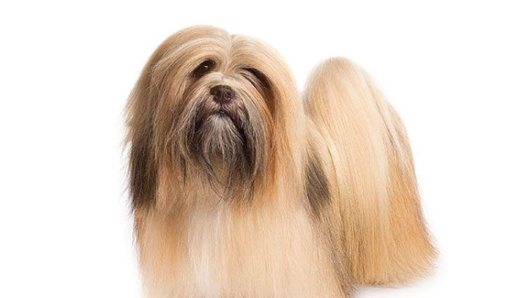 30 Small Hypoallergenic Dogs That Don T Shed Hypoallergenic Dogs Small Dog Breeds That Dont Shed Hypoallergenic Dogs