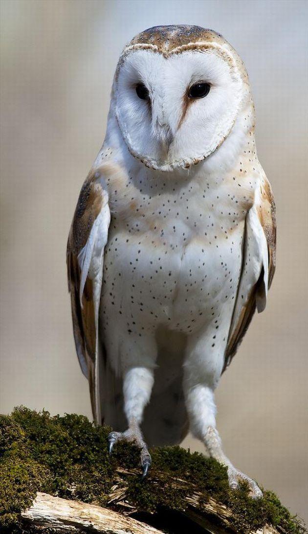 Barn Owl? 💘💘 Owl, Nocturnal birds, Owl photos
