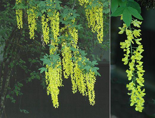 10 x Mixed tree seeds 5 x Common Laburnum seeds /& 5 x English Yew seeds.