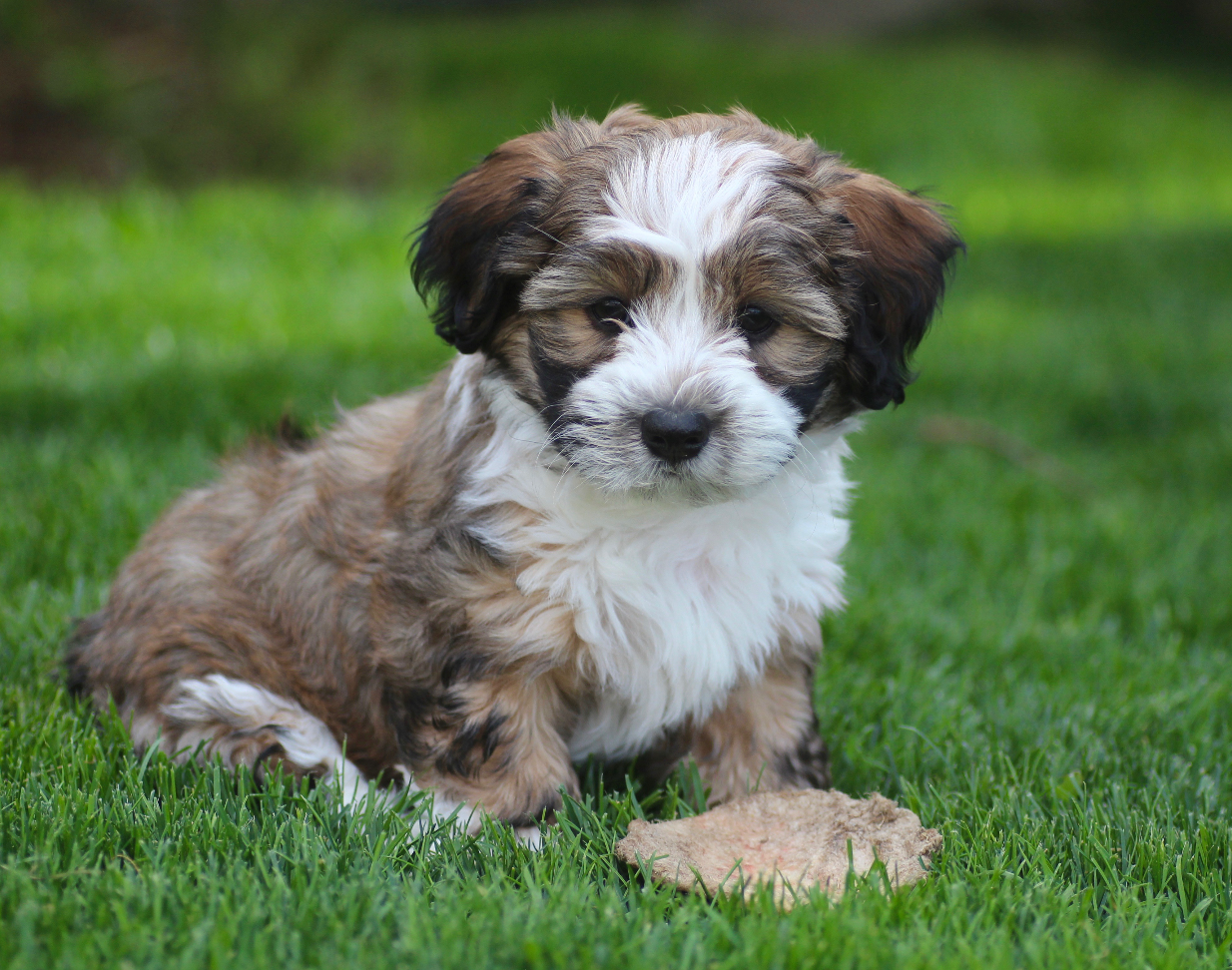 Shichon puppies for sale in kentucky - Baby Barks Bichon Shih Tzu Breeder Shichon Zuchon Puppies For Sale In Calgary