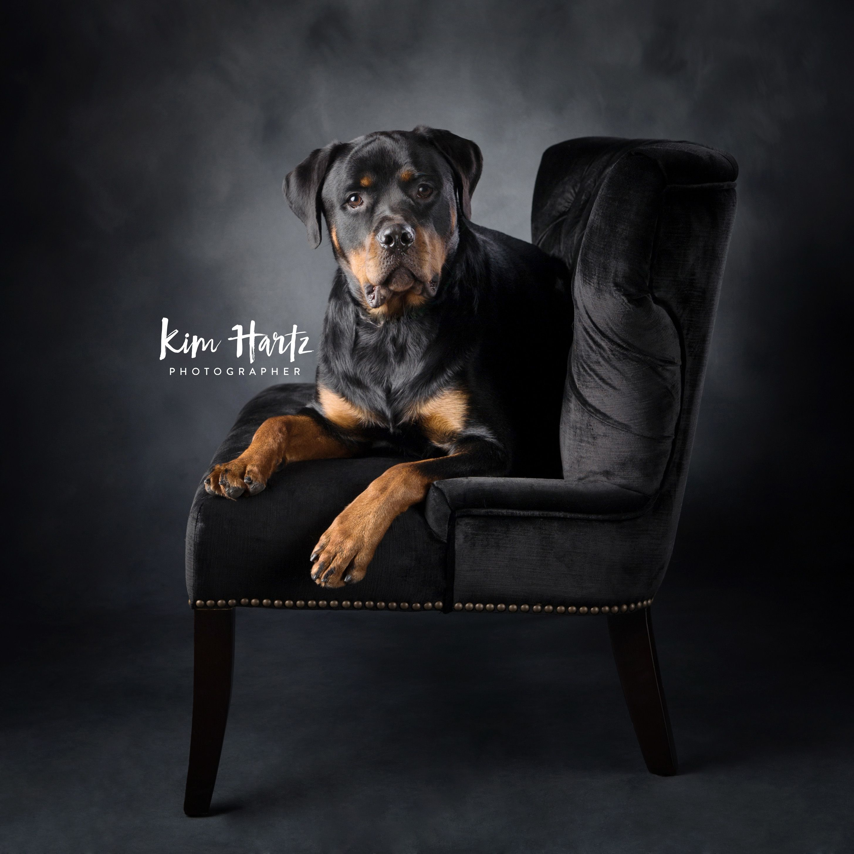 Kim Hartz Photographer Pet Portraits Pet Photographer Rottweiler Pet Photography Pets Rottweiler Dog Rottweiler Puppies