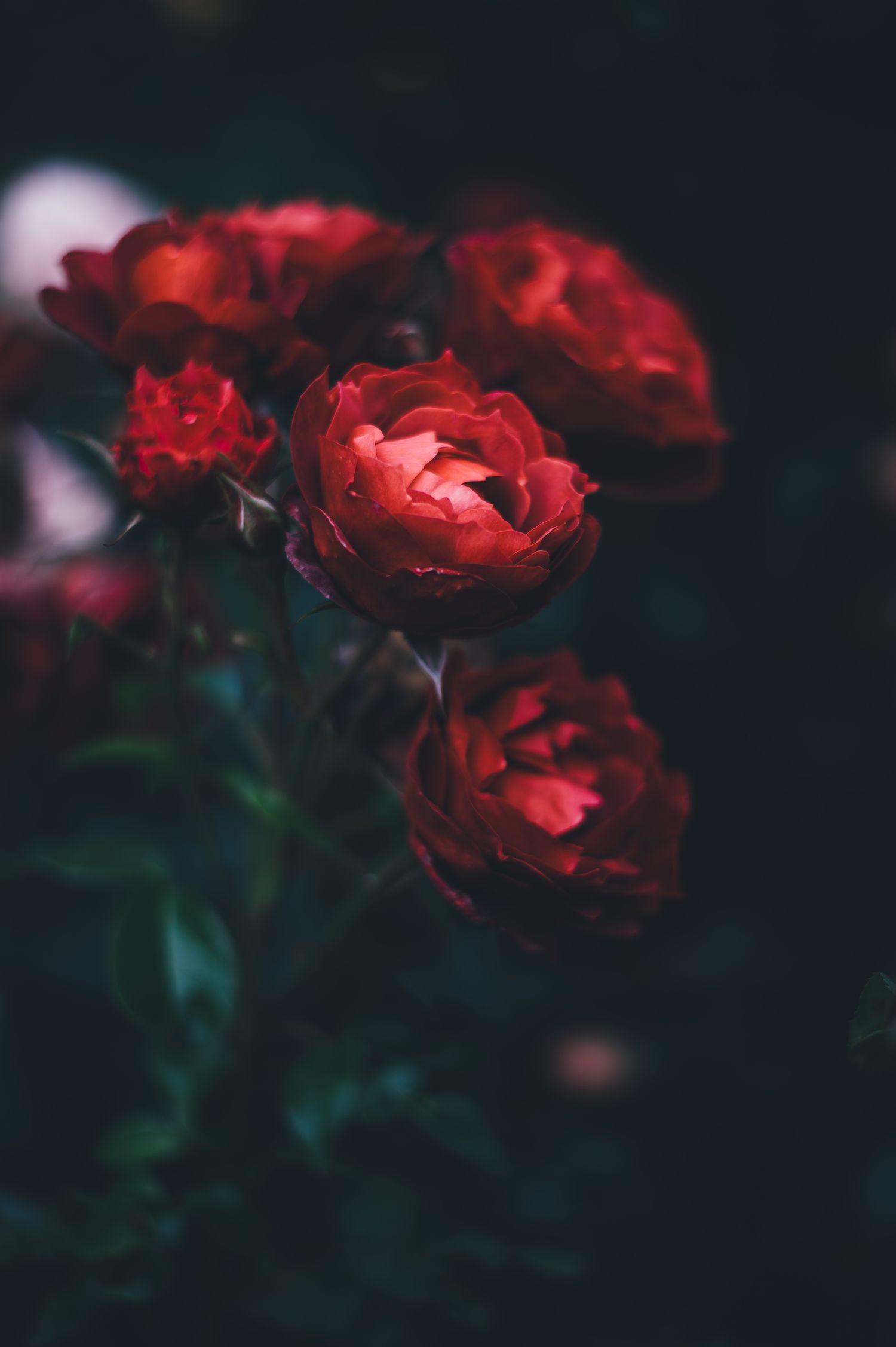 Dark red rose aesthetic wallpaper