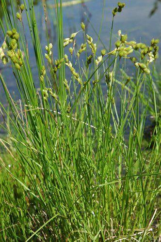 Carex Tribuloides Blunt Broom Sedge Wildflower Seeds Plant Nursery Plants