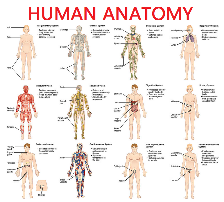 Diagram of the human body and organs