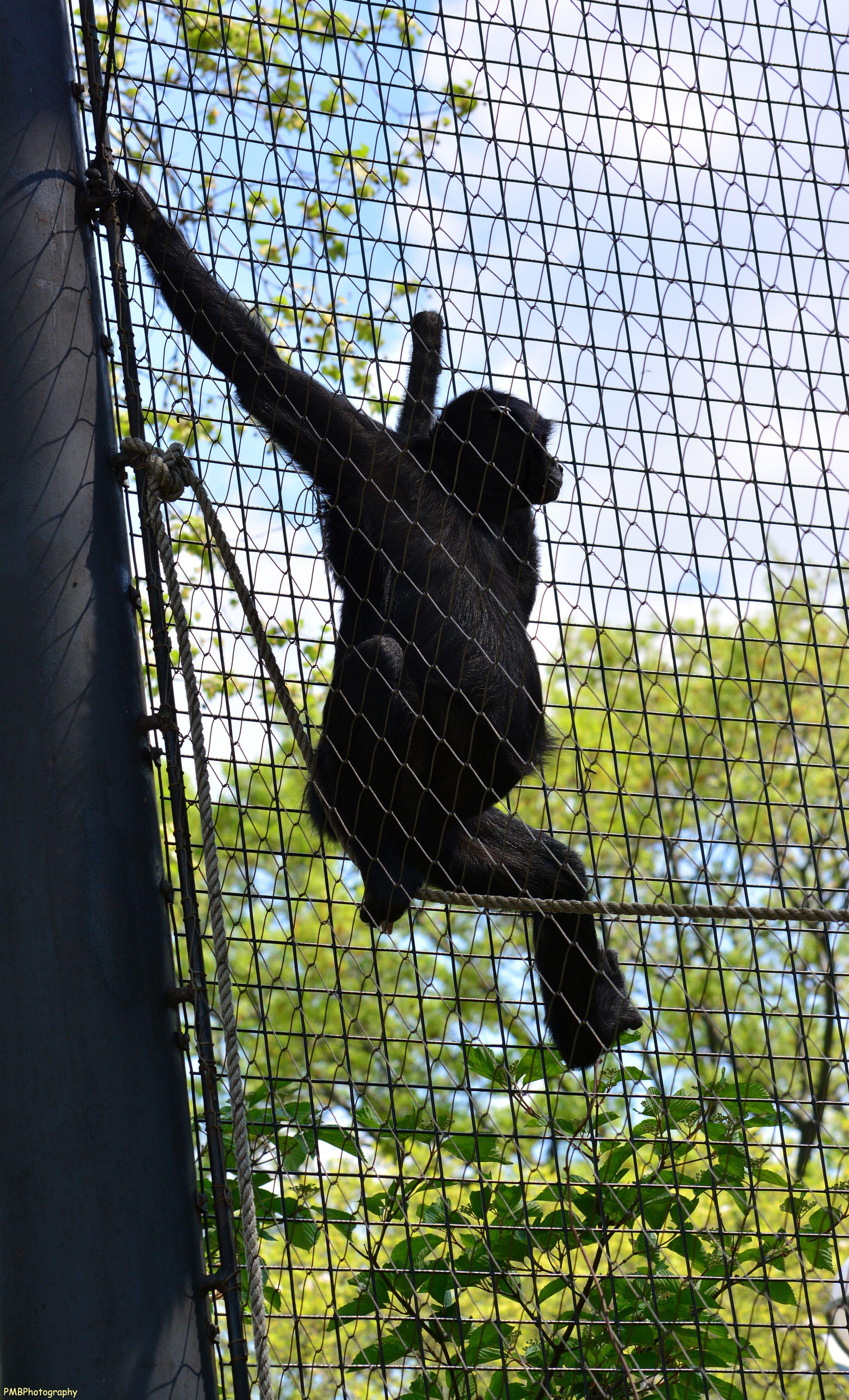 Colombian spider monkey philadelphia zoo spider monkey zoo