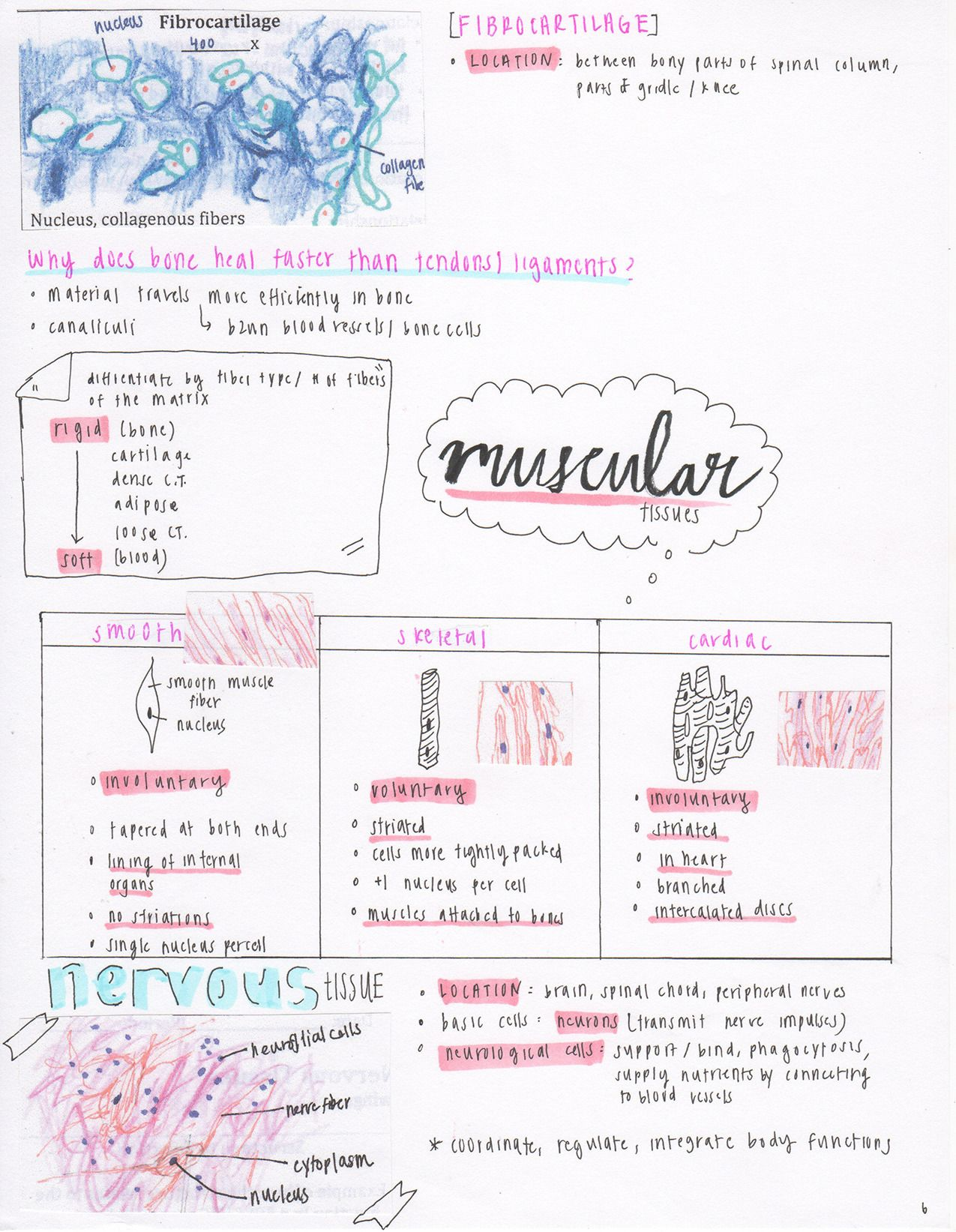 """miennstudies: """" [10.26.16] chapter 5 anatomy notes! (Types of ..."""