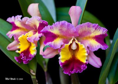 Daily Limit Exceeded Cattleya Orchid Orchid Flower Growing Orchids