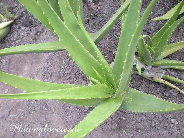 Cảm ơn Dược Sỉ Trần Việt Hưng về bài viết rất giá trị của ông . Cảm ơn thật nhiều .    Vietnamese named : Lô Hội, Nha Đam  English names :  Scientist name : Aloe Vera (L.) Burm f.  Synonyms : Aloe barbadensis  Family : Asphodelaceae. Họ Lô Hội ( Lan Nhật Q Me gusta