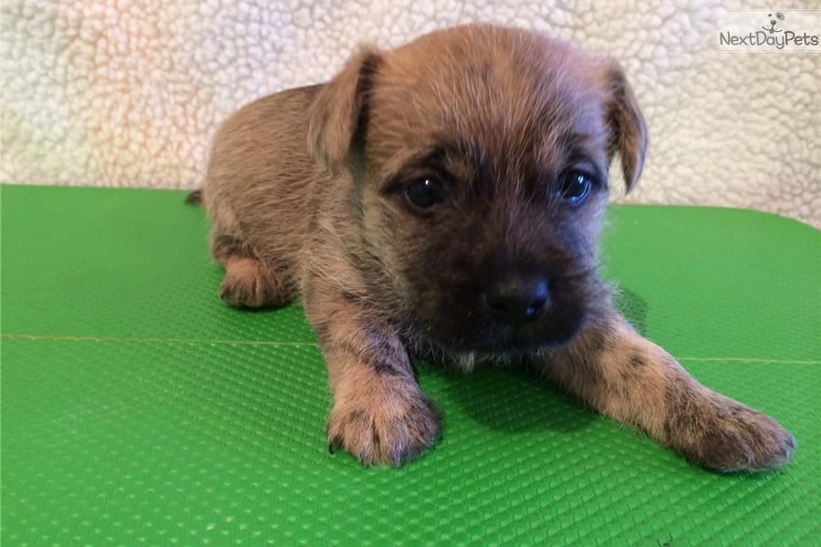 I am a cute Cairn Terrier puppy, looking for a home on NextDayPets.com!