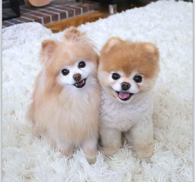 Pair Of Poms Cute Dogs Boo The Dog Boo The Cutest Dog