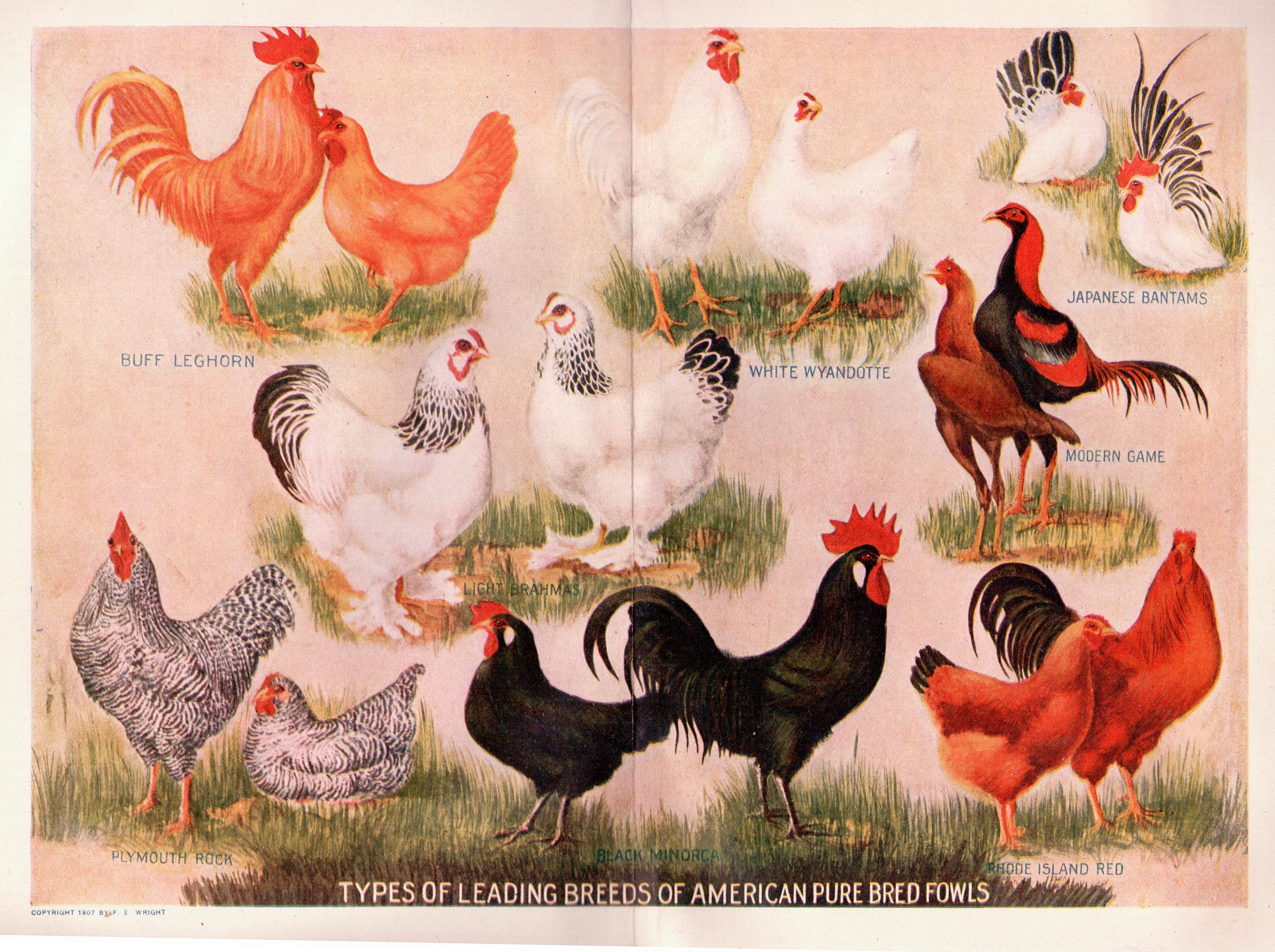 what are the best laying chicken breeds have you ever considered