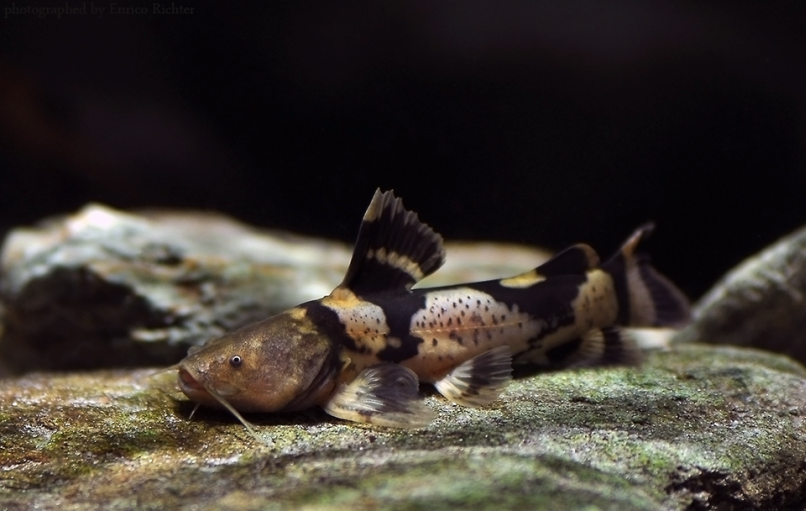 South American Bumblebee Catfish Profil Information Tag Asian Vs South American Bumblebee Catfish South American Bumbl Catfish Catfish Tank Catfish Fishing