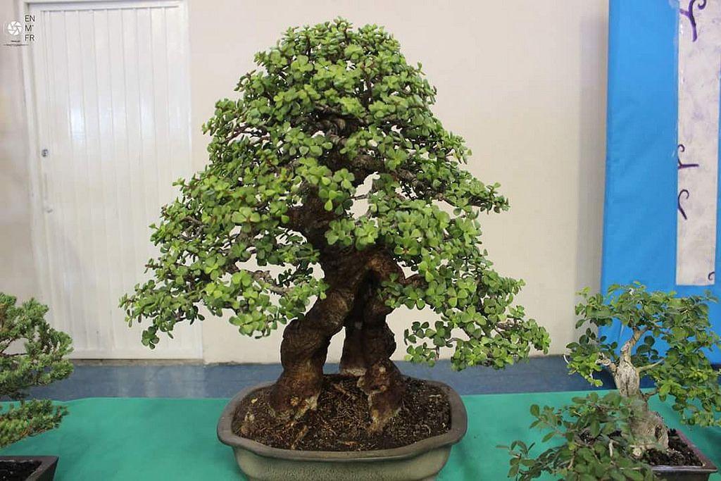 Account Suspended Indoor Bonsai Tree Bonsai Tree Indoor Bonsai