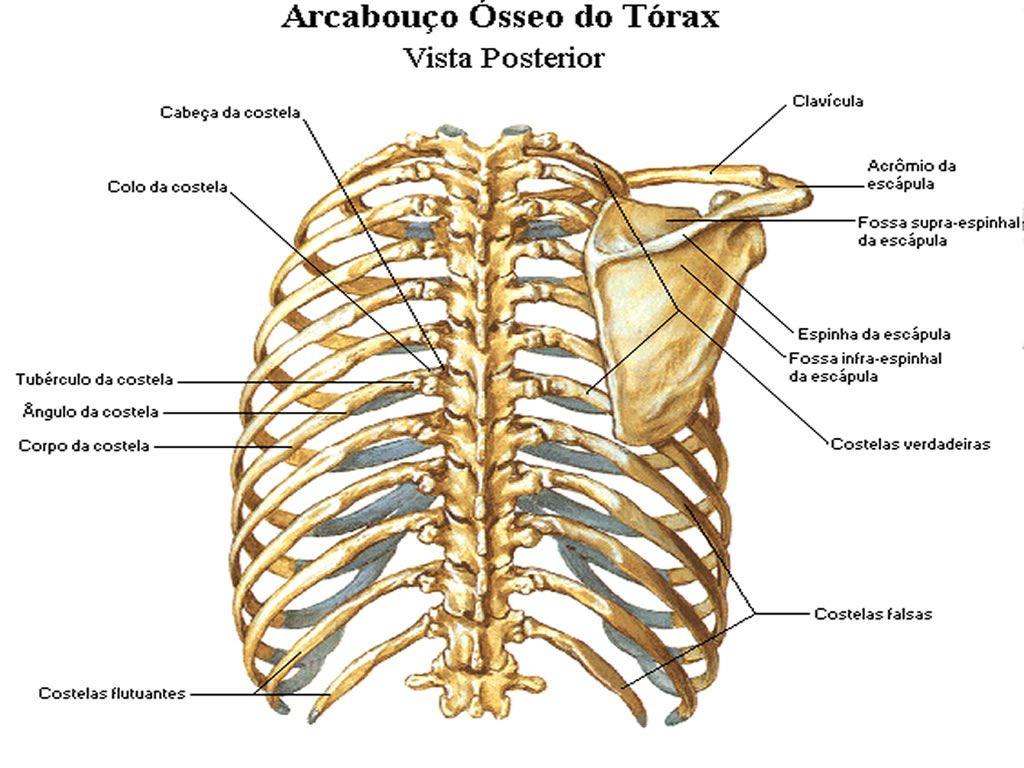 Pin de pricila en anatomia e fisiologia humana | Pinterest | Anatomía
