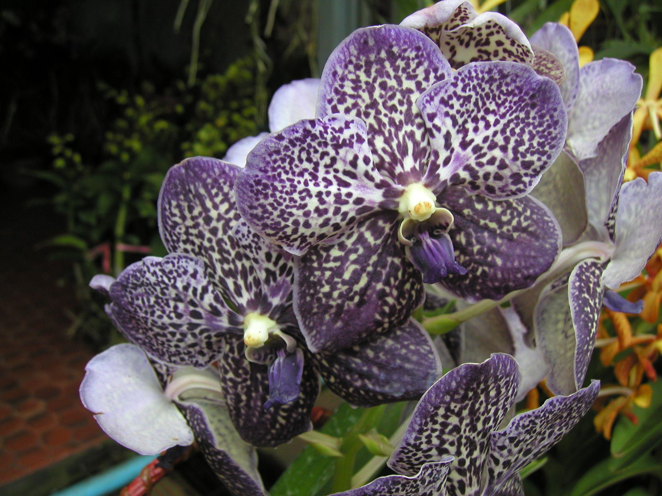 Vanda Gordon Dillon Lea Pinterest Orchids Limbata