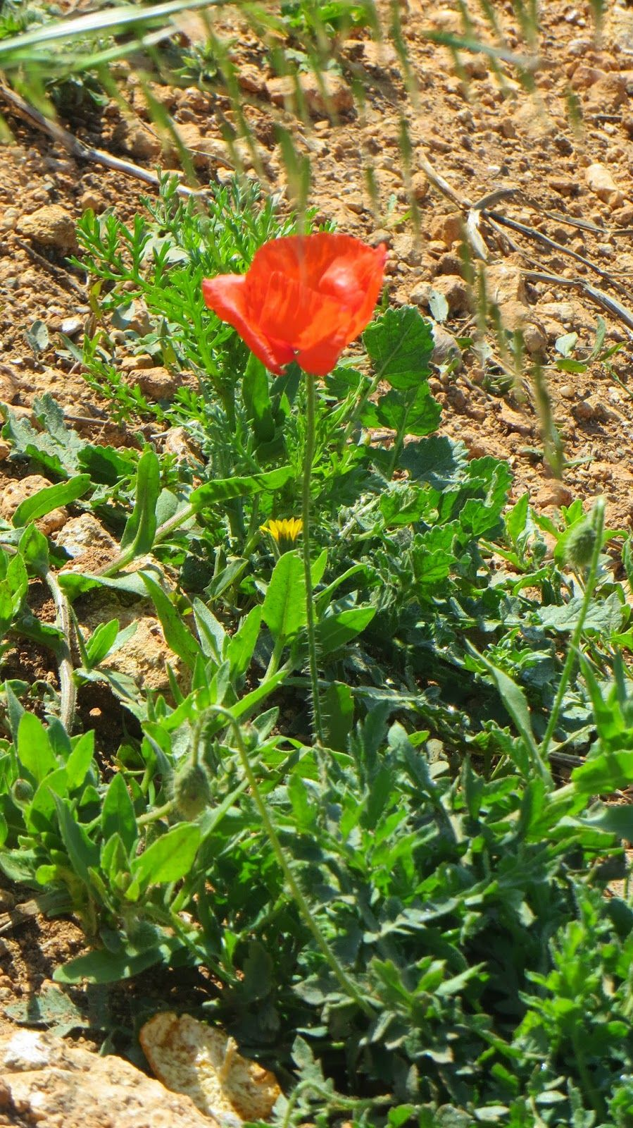 Aroma Treasures - Betty's Aromatic Adventures: Maltese Flora - The Red Poppy