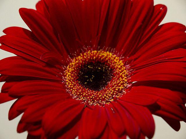 Red Gerbera Flower