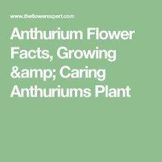 Anthurium Flower Facts Growing Caring Anthuriums Plant Anthurium Flower Anthurium Anthurium Plant
