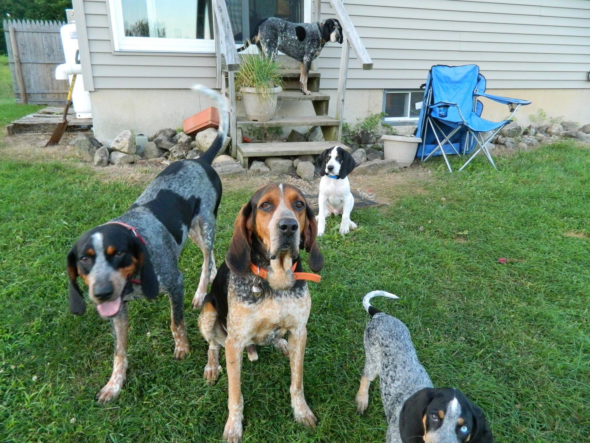 Our Blue Tick Coonhound Pack Coonhound Blue Tick Beagle
